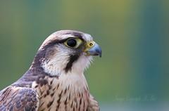Lanner falcon. (nondesigner59) Tags: bird closeup bokeh raptor captive birdofprey lannerfalcon eos50d nondesigner nd59 copyrightmmee
