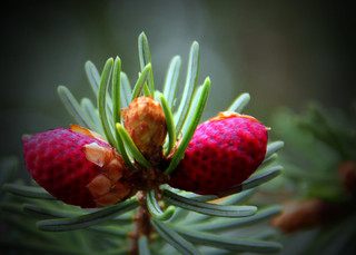 Evergreen Red Pine Cone