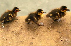 Trio of birds (Tony Worrall) Tags: life park wild baby cute nature beauty birds fun outside nice babies natural small feathers young ducks queenspark fowl sunlit bundle chesterfield birdlife youngducks beautyofnature ©2014tonyworrall