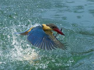 Stork-billed Kingfisher _BTNR ☺☺
