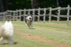 """Chase Trying To Catch Zarro Who Is Moving At MACH Speeds • <a style=""""font-size:0.8em;"""" href=""""http://www.flickr.com/photos/96196263@N07/14261865354/"""" target=""""_blank"""">View on Flickr</a>"""