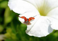 Abflug (karinrogmann) Tags: ngc ladybug takeoff marienkäfer coccinella decollo