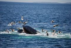 2014-06-08 12.17.11  Jim's photo (aurospio) Tags: massachusetts whale humpback