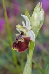 Ophrys druentica (Sinkha63) Tags: france orchid flower fleur orchidaceae fra flore orchidée ophrys wildorchid drôme rhônealpes poyols annesorbes ophrysdruentica ophrysdeladurance