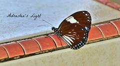 Butterfly (Seroja Baiduri) Tags: nature butterfly kelantan pasirputeh jerampasu canoneos70d
