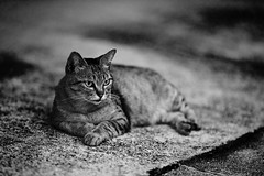 . (rampx) Tags: blackandwhite bw japan zeiss cat hiroshima neko   straycat tomonoura zf2 aposonnart2135
