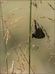 pb_1361 (Fernand EECKHOUT) Tags: france lumix photos forum olympus papillon zuiko printemps insecte saisons corrèze omd proxy sauvage 2014 em1 macrophotographie myrtil 50200swd nationalgéographic olympusfrance imagesvoyages poulbeau19 rêvealimage