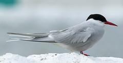 Arctic Tern,Inner Farne,Northumberland. (Juncea) Tags: canon inner arctic northumberland farne tern 70d