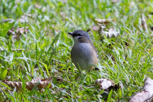 Grey-headed Robin 130628