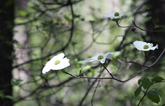 Yosemite Dogwood Blossoms (Life_After_Death - Shannon Day) Tags: life california park wild white mountain mountains flower tree art nature forest canon botanical fire photography eos death day natural blossom nevada sierra shannon national yosemite after wildflowers dogwood dslr botany wildflower canondslr canoneos wildfire lifeafterdeath 50d shannonday canoneos50d canon50d canon50ddslr canon50deos canoneos50ddslr canoneod50ddslr canondsler lifeafterdeathstudios lifeafterdeathphotography shannondayphotography shannondaylifeafterdeath