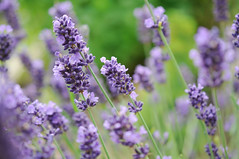 Some lavenders in our garden. (kachnch) Tags: flower macro green nature garden purple lavender