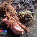Orange sea cucumber (Mensamaria intercedens)