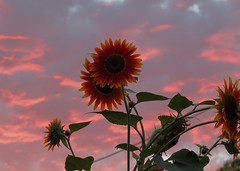 sunsetflower (Mirek Grymuza) Tags: sunset sunflower sunsetflower