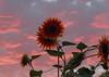 sunsetflower (Mirek Grymuza) Tags: sunset sunflower sunsetflower