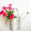 (Ash2ash) Tags: flowers red stilllife rose 紅色 靜物 wateringpot 花卉 玫瑰 澆花壺