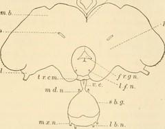 Anglų lietuvių žodynas. Žodis protocerebrum reiškia <li>protocerebrum</li> lietuviškai.
