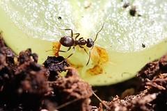 jet-black ant (lasius fuliginosus).