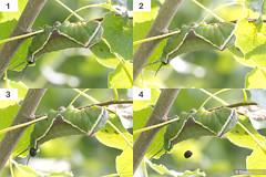 Frass Firing Puss Moth (Dom Greves) Tags: uk summer woodland insect wildlife moth july surrey lepidoptera caterpillar montage aspen sequence larva invertebrate behaviour defecation frass pussmoth 5thinstar ceruravinula