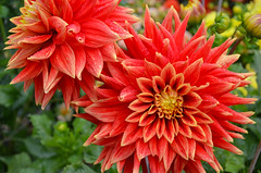 Orange dahlias and raindrops (Perl Photography) Tags: dahlia flowers summer orange flower green nature floral colors beauty leaves garden botanical petals spring flora colorful gardening blossoms foliage vegetation dahlias redflowers blooming