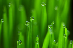 dew drop macro (heartinhawaii) Tags: waterdrops dew grass catgrass dewdrops green dewongrass macro nature nikond3100 flickrlicensing