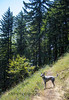 Winston leads the way (kati.holt) Tags: trees summer dog hot puppy landscape outside outdoors happy washington rocks northwest hiking trails hike days dirt trail cedar cape horn capehorn