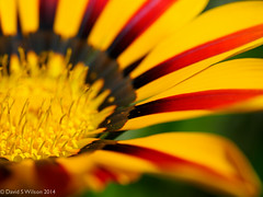 Floral Fire (David S Wilson) Tags: uk flowers england flower ely fens 2014 flowersplants davidswilson lightroom5 olympusomdem5 leicadgmacroelmarit12845asphlens