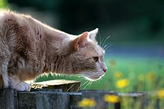 Summer Saturday  morning (Kerri Lee Smith) Tags: flowers summer cats pets jimmy fences kitties tabbies felines yellowflowers orangecats buffcats beigecats