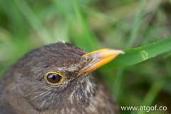 deryn du-0277 (www.atgof.co) Tags: du blackbird turdus aderyn merula