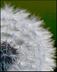 what time? (Dickie-Dai-Do) Tags: weed head seed dandelion florets dentdelion