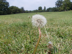 Blowing In The Wind (Stace_xoxo) Tags: blue summer sky blackandwhite brown white flower tree green field grass yellow bench leaf nikon sunny dandelion iso oxford coolpix daisy stick blade newbury greyscale l23