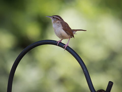 Wren (IV) (gtncats) Tags: bird nature bokeh wren potofgold photographyforrecreation