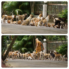 Of dogs and wats...Nong Khai, Thailand 2014 (drburtoni) Tags: dogs thailand monk wat nongkhai