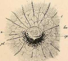 Anglų lietuvių žodynas. Žodis podoconus reiškia podokonus lietuviškai.