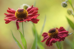 Helenium (Mandy Disher) Tags: red green nature beauty yellow garden helenium sneezeweed differentialfocus