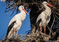 White stork (Ignacio Ferre) Tags: cigüeña cigüeñablanca ciconia ciconiaciconia whitestork stork españa spain nido nest primavera spring nikon ave pájaro bird animal