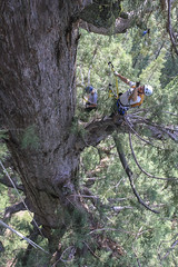 """Climber and Rigger Jeff Deutsch tossing a weight to get higher climbing a old growth Giant Sequoia, during production of """"Ground to Crown"""" - June 2011 (tenacityinpursuit) Tags: coe ctci climbing cornell jeffdeutsch tossing treeclimbing whitakersforest"""