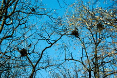 Prima aprilis in Cracow 75 (Hejma (+/- 5200 faves and 1,6 milion views)) Tags: planty trees nest rakes blue sky