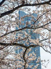 170406 Yokohama-06.jpg (Bruce Batten) Tags: trees locations yokohama flowers plants subjects honshu buildings urbanscenery rosaceae japan kanagawa yokohamashi kanagawaken jp