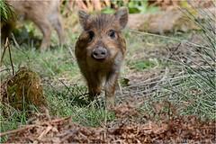 "Wild boar hoglets (DaveChapman ""If it flies,I shoot it"") Tags: wild boar uk england hoglets hogs forest spring cute humbug humbugs"