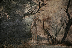 Lone Giraffe (crafty1tutu (Ann)) Tags: travel holiday 2016 southafrica africa african animal giraffe motswariprivategamereserve wild inthewild free roamingfree openborderwithkrugernationalpark crafty1tutu canon5dmkiii ef100400mmf4556lisiiusm anncameron tree naturethroughthelens