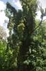 Parthenocissus quinquefolia, Beeliar Regional Park, Cockburn, Perth, WA, 27/12/16 (Russell Cumming) Tags: plant weed parthenocissus parthenocissusquinquefolia vitaceae beeliarregionalpark cockburn perth westernaustralia