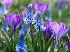 Azure grape hyacinths & crocuses (photodesignette) Tags: krokus hyazinthe traubenhyazinthe azurblau frühling blüten