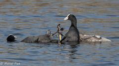 Biesbosch - Coot feet works (CapMarcel) Tags: biesbosch goose geese duck canadian nikon d500 500mm