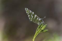 Papillon de printemps cardamine (Doriane Boilly Photographie Nature) Tags: insecte papillon vert macro nature faune et flore prairies champs garden buterfly détails cardamine