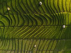 DJI_0670 (matsandersen) Tags: dji mavic pro rice ricefields bali canggu sunrise goldenhour