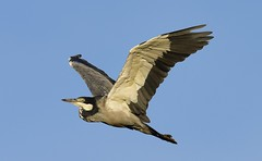 Black-headed Heron  (Ardea melanocephala) (Ian N. White) Tags: blackheadedheron ardeamelanocephala lobatse botswana