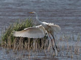 Agró blanc - Garceta grande - Great egret - Egretta alba - Casmerodius albus