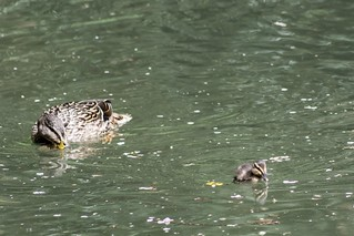 Mother Duck watches on