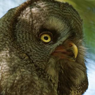 Great Grey Owl, Marwell Zoo