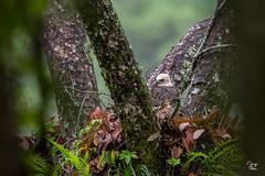 Polluelo de Aguila Elegante - Spizaetus ornatus (Jorge De Silva R) Tags: chiapasmexico jorgesilva reserva de la biosfera el triunfo nature legado verde spizaetus ornatus aguila elegante